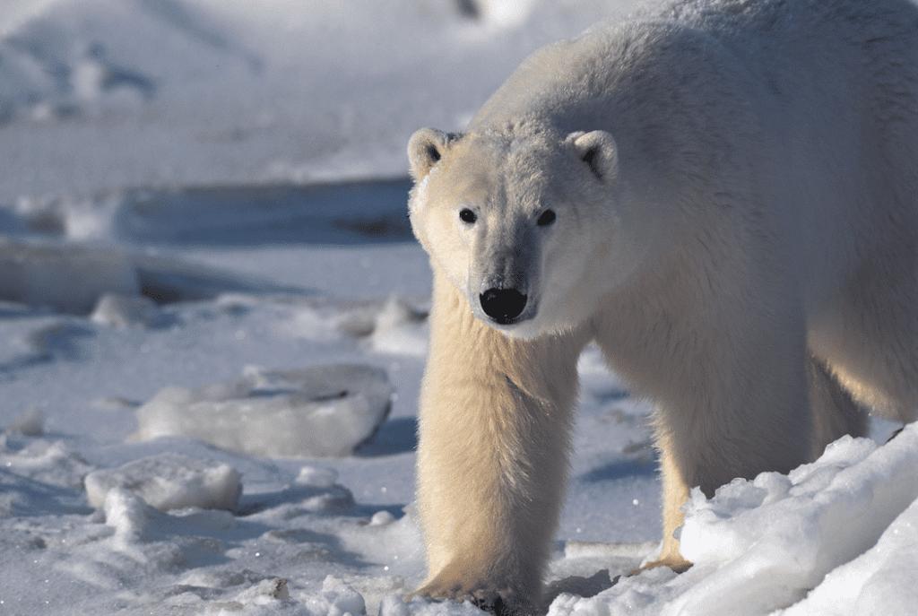 Wildlife: Polar Bear