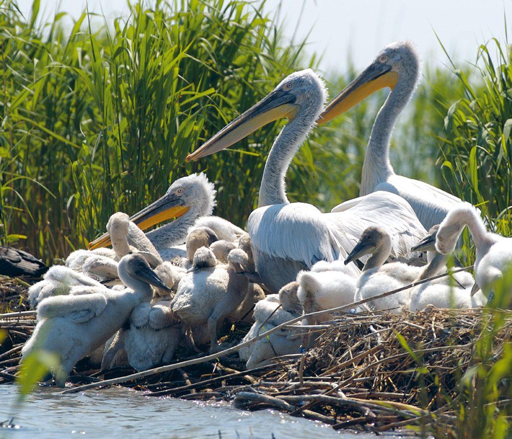 Delta---Pelicans